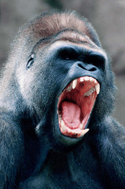 Grizzly Bear Vs Gorilla